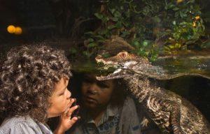 Caiman Crocodiles
