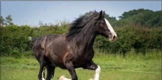 Cotebrook Shire Horse Centre